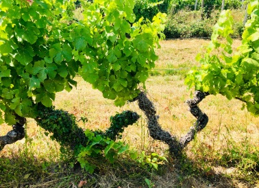 90-year-old Sémillon Vines